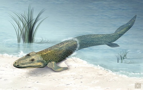 """Paleontologists suggest that Tiktaalik is representative of the transition between non-tetrapod vertebrates (""""fish"""") such as Panderichthys, known from fossils 380 million years old, and early tetrapods such as Acanthostega and Ichthyostega, known from fossils about 365 million years old."""